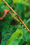 Green Darner Dragonfly (Anax junius) Royalty Free Stock Photography