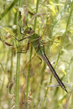 Green Darner Dragonfly Hiding in Vegetation Royalty Free Stock Image