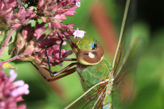 Green Darner Dragonfly Stock Photography