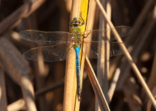 Green Darner Stock Photo
