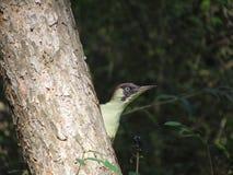 Green datel species Kislovodsk Park. stock images