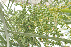 Green dates between branches Royalty Free Stock Photo