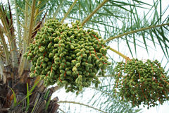 Green dates on a palm tree Stock Photo
