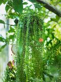 Green Dave pot ,beautiful ivy in flower pot. stock photography