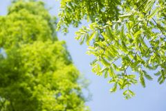 Green dawn redwood leaves Royalty Free Stock Photos