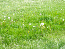 Green day. Green field with grass and flowers royalty free stock image