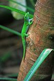 Green day gecko on tree trunk. Full Stock Photo