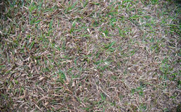 Green and dead lawn grass Stock Photo