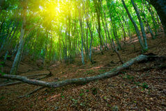 Green deciduous forest Royalty Free Stock Photos