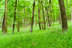 Green deciduous forest Stock Image