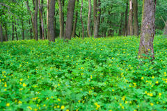 Green deciduous forest Stock Photography