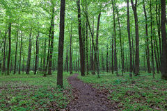 Green deciduous forest after the rain Royalty Free Stock Photo