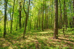 Green Deciduous Forest Summer Nature. Sunny Trees Stock Images
