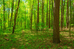 Green Deciduous Forest Summer Nature. Sunny Trees And Green Gras Stock Photography