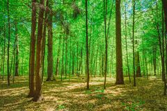 Green Deciduous Forest Summer Nature. Sunny Trees Stock Image