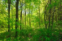 Green Deciduous Forest Summer Nature. Sunny Trees. Sunlight In Deciduous Forest, Summer Nature. Sunny Trees And Green Grass. Woods Background royalty free stock photos