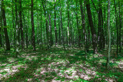Green deciduous forest on a sunny day Stock Image