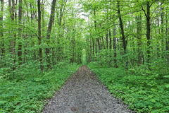 Green deciduous forest on a sunny day Royalty Free Stock Photos