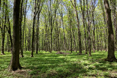 Green deciduous forest on a sunny day Royalty Free Stock Photography