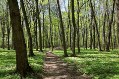 Green deciduous forest on a sunny day Stock Photography