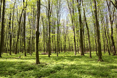 Green deciduous forest on a sunny day Stock Images