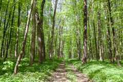 Green deciduous forest on a sunny day Royalty Free Stock Photo