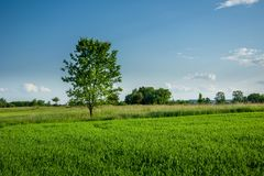 Green deciduous tree growing in fresh cereal and blue sky. View in sunny day royalty free stock photo