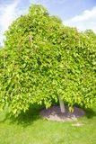 Green deciduous tree stands alone Royalty Free Stock Photos