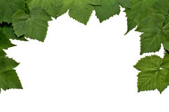 Green decor. Green decor from grape leaves in white Royalty Free Stock Image