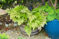 Green decorative fern in a container Royalty Free Stock Photo