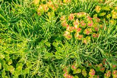 Green decorative plant grass, background, texture. Blooming Euphorbia cyparissias ornamental perennial in landscape stock photos