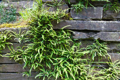 Green deer fern, Blechnum spicant growing out of slate wall. Stock Photos
