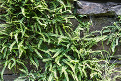 Green deer fern, Blechnum spicant growing out of slate wall. Royalty Free Stock Photos