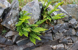 Green deer fern, Blechnum spicant growing out of wall. Royalty Free Stock Images