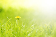 Green delicate background with grass and dandelion Stock Image