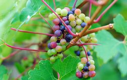 Green delicious grape Royalty Free Stock Image