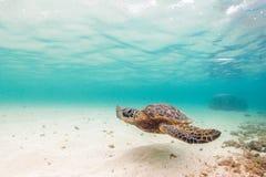 green den hawaianska havssköldpaddan Arkivbilder