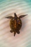 green den hawaianska havssköldpaddan royaltyfri fotografi