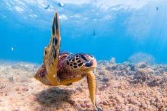 green den hawaianska havssköldpaddan Royaltyfria Bilder
