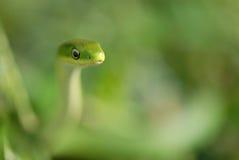 green den ungefärliga ormen Arkivfoton