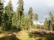 Green dense natural coniferous forest with Christmas trees and pines and forest road against the sky and rainbow stock photo