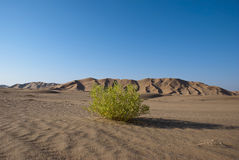 Green in Desert Royalty Free Stock Image