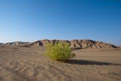 Green in Desert. A green bush in the desert rn Royalty Free Stock Image