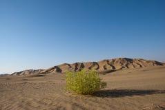 Green in Desert. A green bush in the desert rn Royalty Free Stock Images
