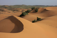 Green desert. Some vegetation growing in the sand dune of morocco desert Stock Photos
