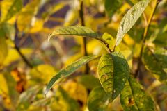 Green destroyed or sick. Leaves on bush in yellow light in garden Royalty Free Stock Photo