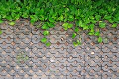 Green Devil`s Ivy plants with water droplets on turf stone concrete pavers