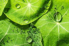 Green Dewy Leaves Royalty Free Stock Photography