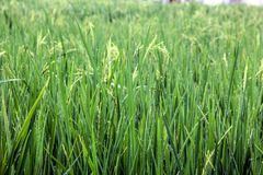 Green Dewy Paddy Field royalty free stock photos