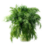 Green dill Stock Images
